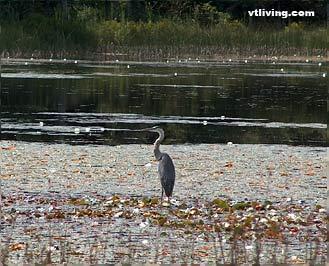Heron at pond in Upper Valley Vermont