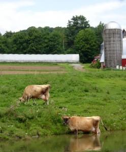 Content Vermont cows at  Four Corner Farm, Bradford, VT