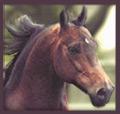 Vermont Morgan horse breed