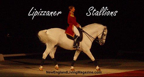 lipizzaner stallions, lipizaner stallions