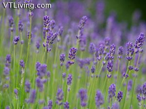 indoor herbs herb gardening vermont herb garden