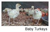 Turkey Chicks, Chicks