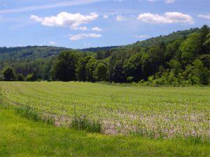 cornfield-earlysummer-ascutney-resort