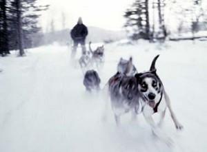 dog sledding mushers vermont dog sled races