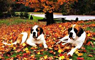 Saint Bernards, History of Saint Bernards