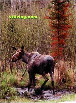 Nulhegan Moose