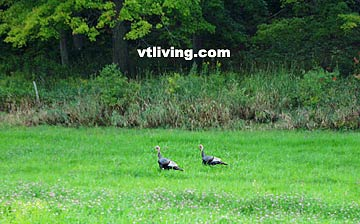 Vermont Wild Turkey