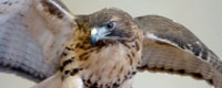 Vermont Institute of Natural Science Raptor Rescue Science Center Woodstock Vermont attraction