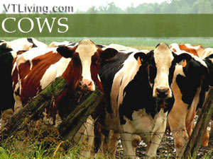 vermont cattle breeds