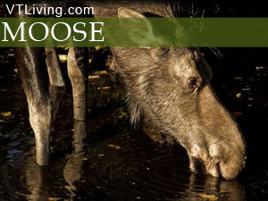Moose, Moose Picture, Moose on the Loose,