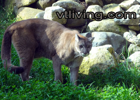 Vermont Catamount, Eastern Mountain Lion