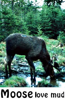 moose in the mud: moose photo