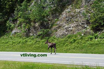 Vermont Moose on Highway