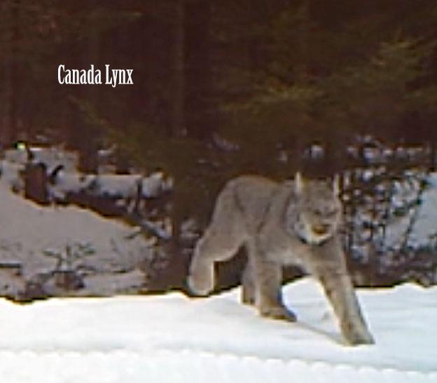 Canada Lynx in Vermont