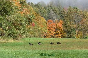 turkeys-fall-stjohnsbury-2016