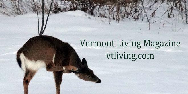 Vermont Deer Photos